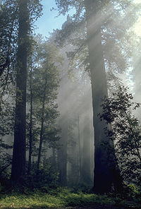 Redwood light